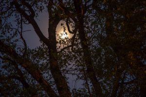 Большое Болдино. Луна в ветвях ветлы. Вечернее фото усадьбы Пушкина